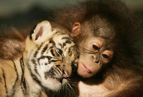 Sahabat Orangutan